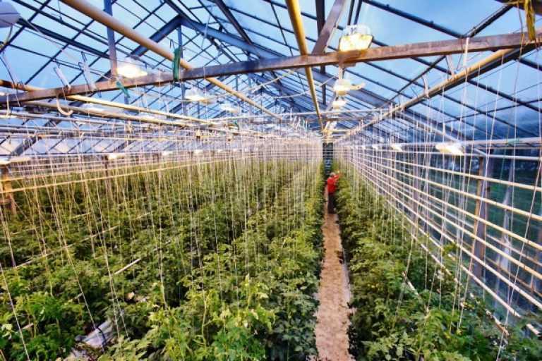 Выращивание клубники в теплице зимой: подробная инструкция
