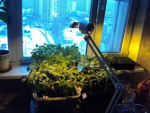 Лампа для рассады: светодиодная фитолампа для растений на подоконнике своими руками, как выбрать ультрафиолетовые светильники