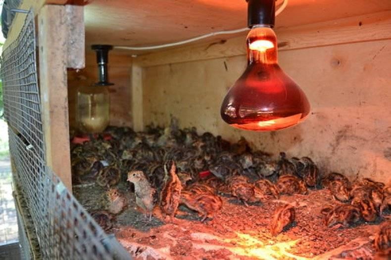 Инфракрасная лампа для обогрева цыплят, помещения