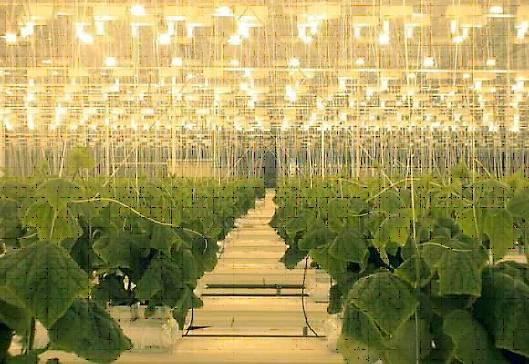 Освещение растений в теплице: особенности, режим, своими руками, лампы, светильники, светодиодные, система, расчет