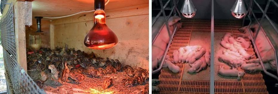 Инфракрасные лампы для обогрева курятника, обогреватели зимой