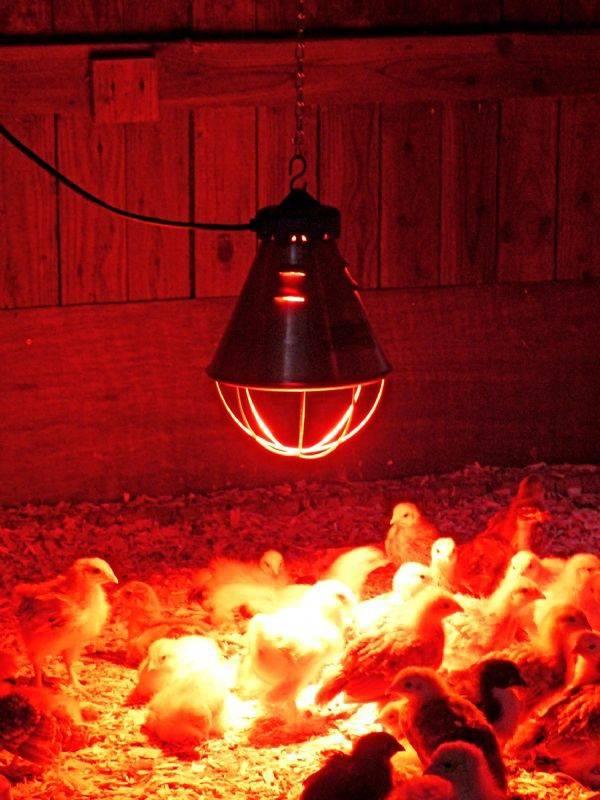 Как установить инфракрасную лампу в курятнике