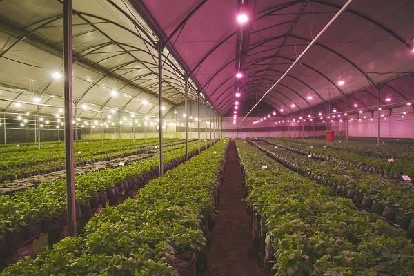 Как вырастить клубнику в теплице: выбор сорта, выращивание в горшках и на стеллажах, теплые клубничные грядки